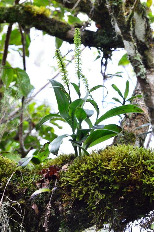 Angraecum bracteosum Dsc_1814
