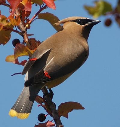 dans la nature, quelle couleur sur un oiseau vous éblouie le plus ? Jaseur10