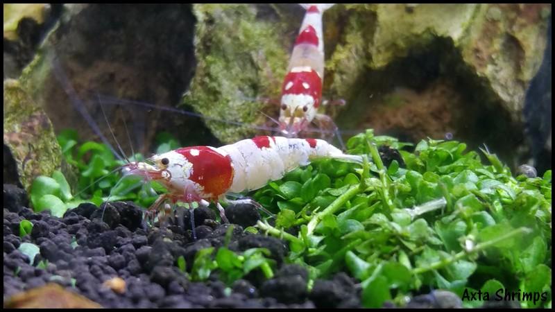 Axta Shrimps. 00211