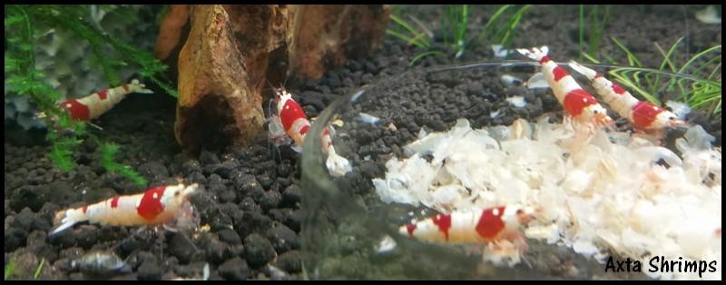 [Axta Shrimps] - 30L de PRL. 0211