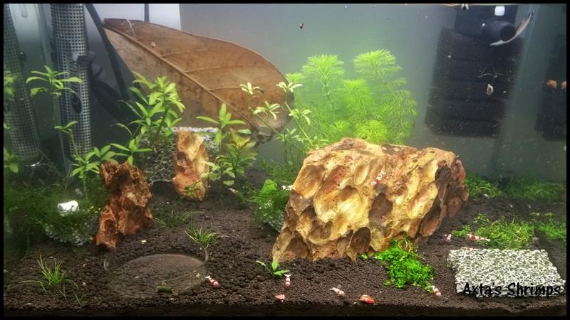 [Axta Shrimps] - 30L de PRL. D_80010