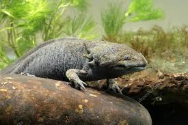 Axolotl vous avez dit Axolotl ?? Cvfred10