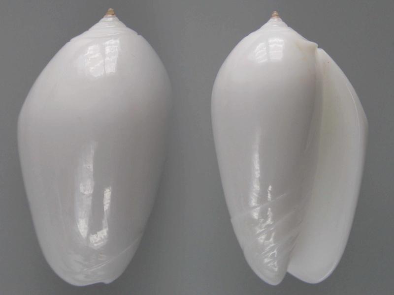 Americoliva incrassata f, nivea (Pilsbry, 1910) Img_3311