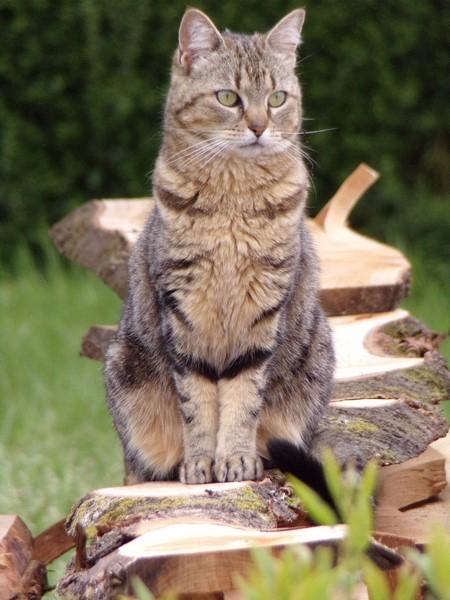 ISA, chatte européenne, marron tabby, née en 2013 104_0710