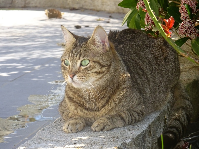 juliana - JULIANA - femelle tigrée - type européen née en janvier 2014 Dsc00411