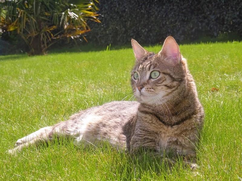 juliana - JULIANA - femelle tigrée - type européen née en janvier 2014 Dsc00412