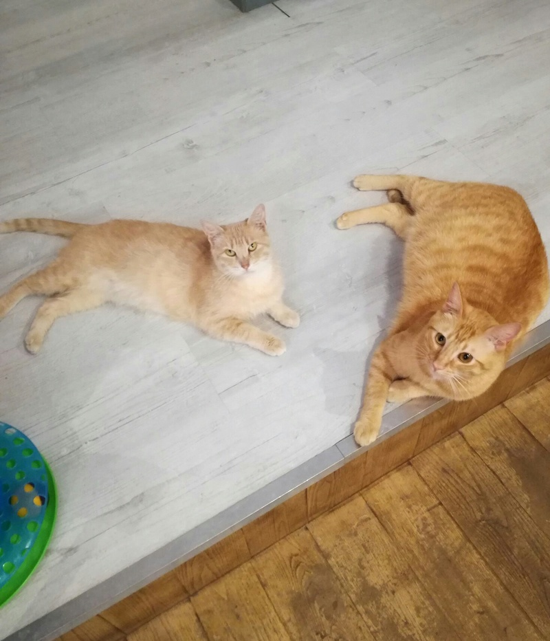 luffy - LUFFY, chat européen tigré roux, né le 05/02/16 Img_1410