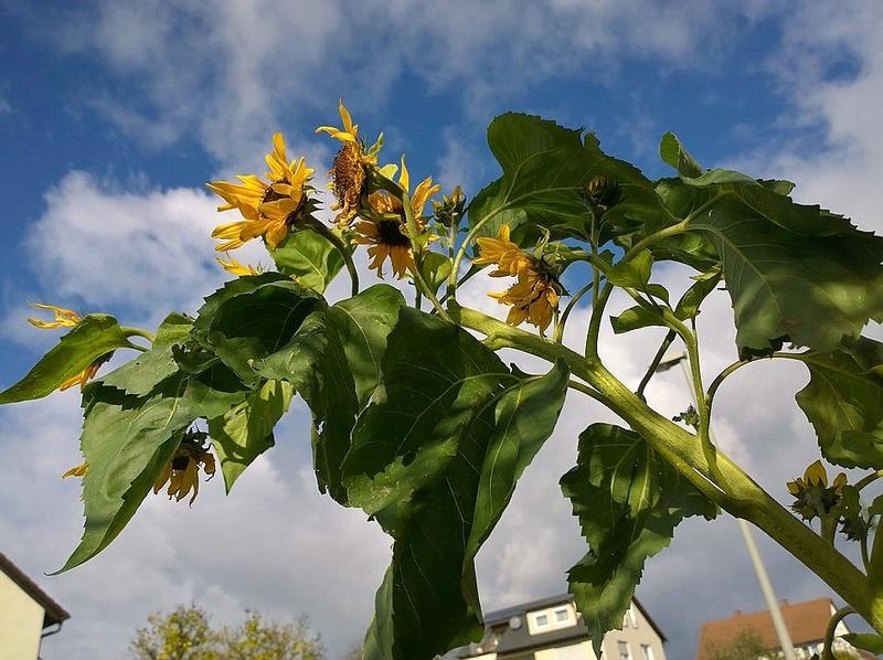 Sonnenblumen(artige) - Heliantheae - Seite 3 Upload79