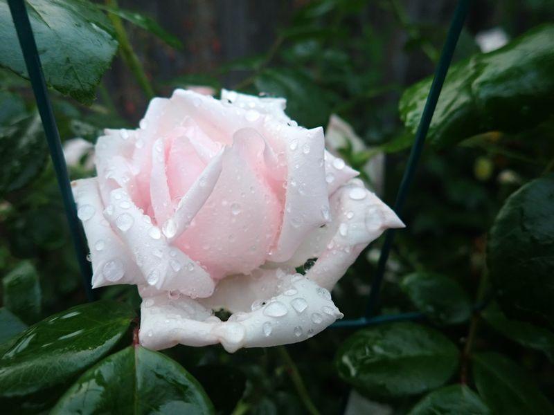 Rosa 'New Dawn' !!! - Page 5 01_jui12