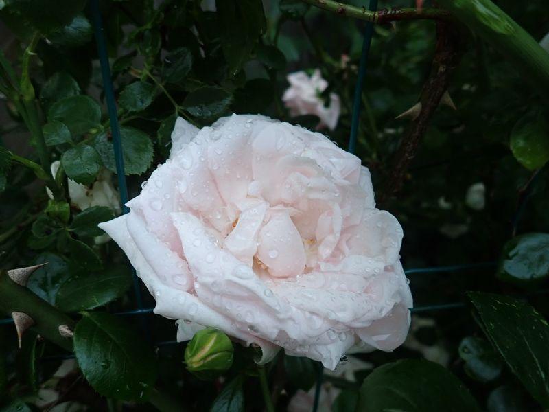 Rosa 'New Dawn' !!! - Page 5 01_jui13