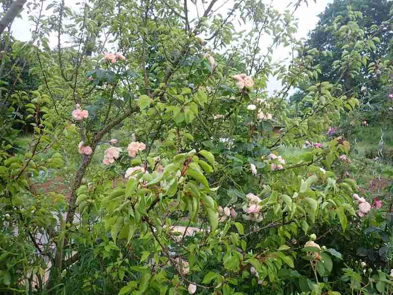Rosa 'Bouquet Parfait' !!! - Page 8 01_jui14