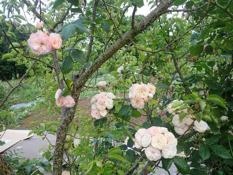 Rosa 'Bouquet Parfait' !!! - Page 8 01_jui15