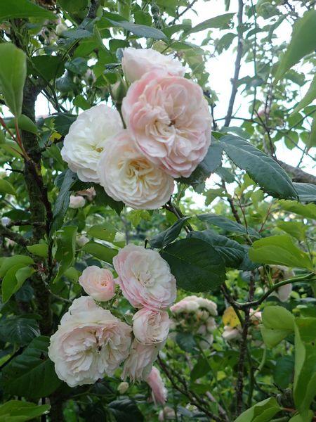 Rosa 'Bouquet Parfait' !!! - Page 8 01_jui16