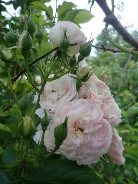 Rosa 'Bouquet Parfait' !!! - Page 8 01_jui17