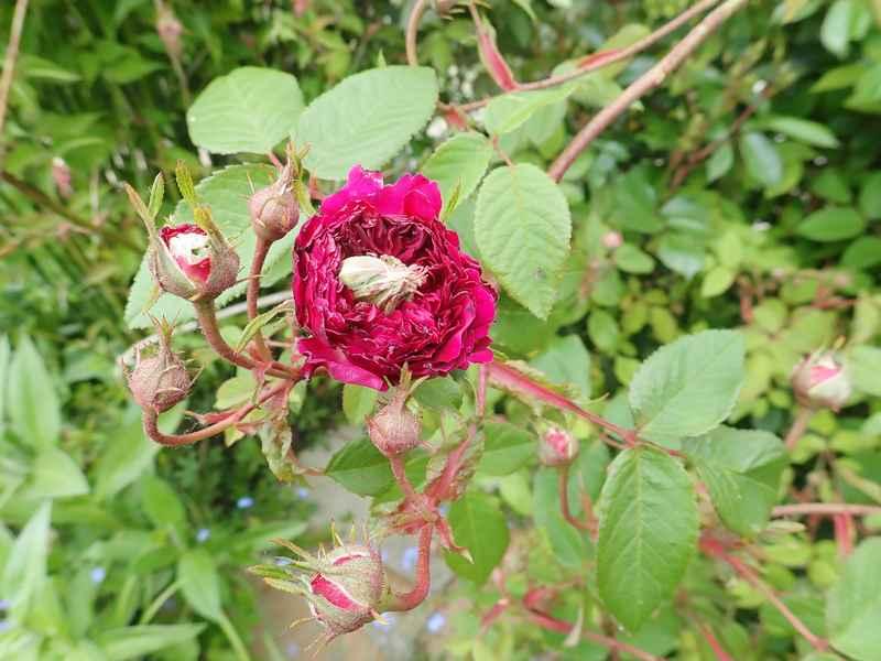 petite renoncule violette 171511