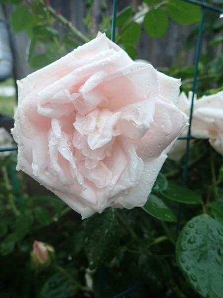 Rosa 'New Dawn' !!! - Page 5 30mai137