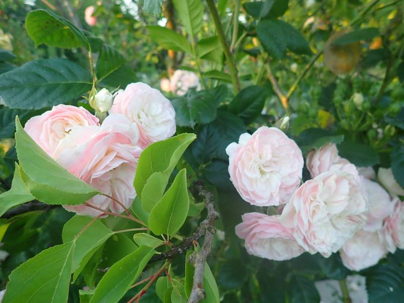Rosa 'Bouquet Parfait' !!! - Page 7 30mai138