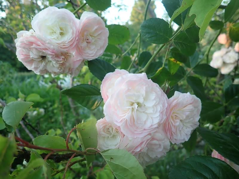 Rosa 'Bouquet Parfait' !!! - Page 7 30mai139
