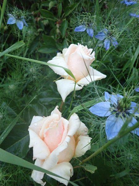 rosier sweet love 30mai143