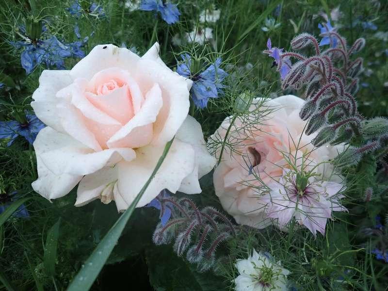rosier sweet love 30mai144