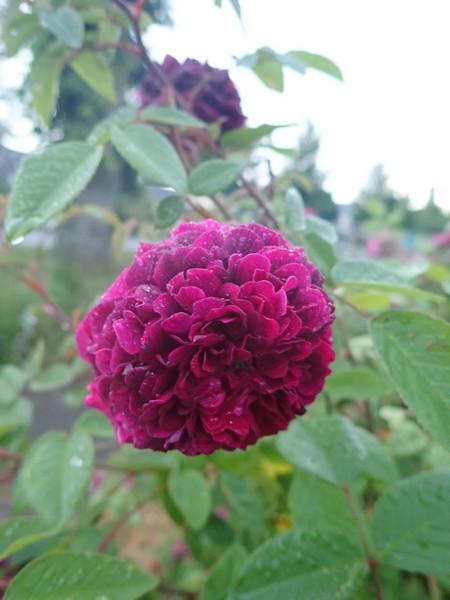 petite renoncule violette 30mai146
