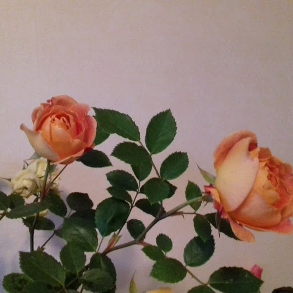 rosa 'lady of shalott' - Page 3 Bouque10