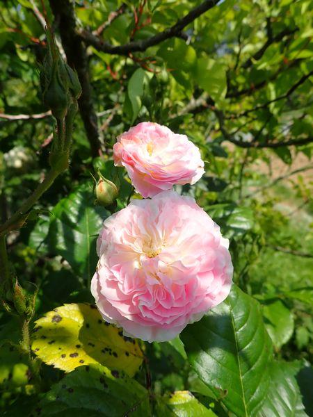Rosa 'Bouquet Parfait' !!! - Page 7 Jardi116