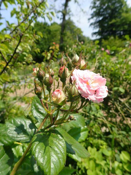 Rosa 'Bouquet Parfait' !!! - Page 7 Jardi117