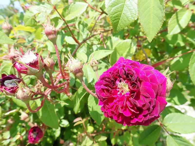 petite renoncule violette Jardi118