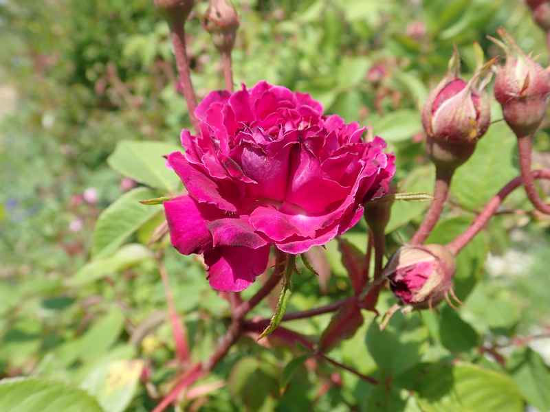 petite renoncule violette Jardi119