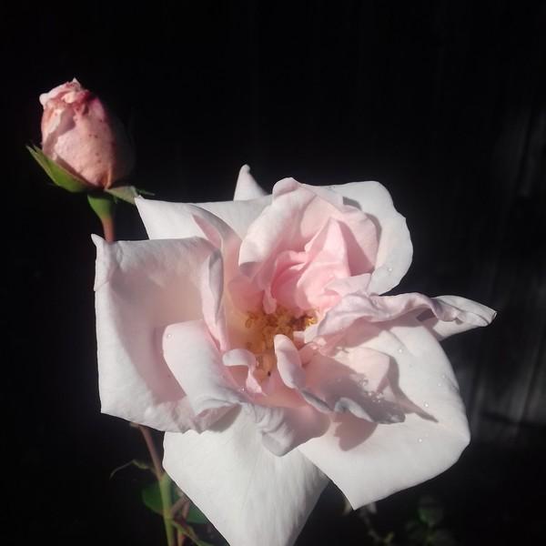 Rosa 'New Dawn' !!! - Page 5 Jardin13