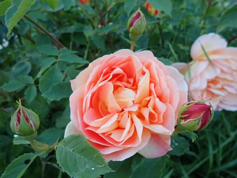 rosa 'lady of shalott' - Page 3 Jardin68