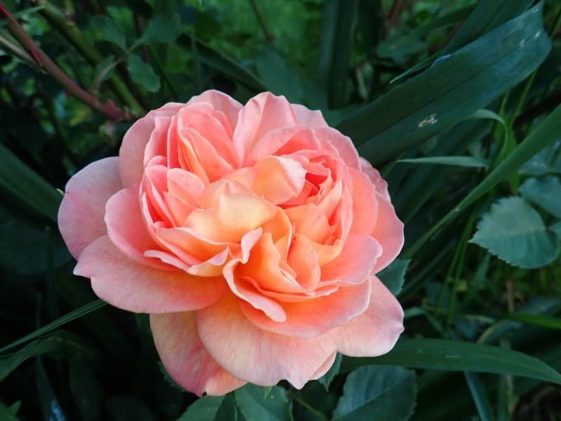 rosa 'lady of shalott' - Page 3 Jardin69