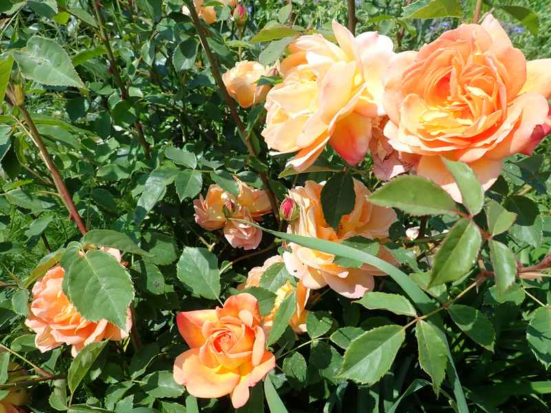 rosa 'lady of shalott' - Page 4 Jardin71