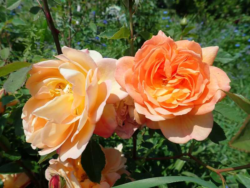 rosa 'lady of shalott' - Page 4 Jardin72