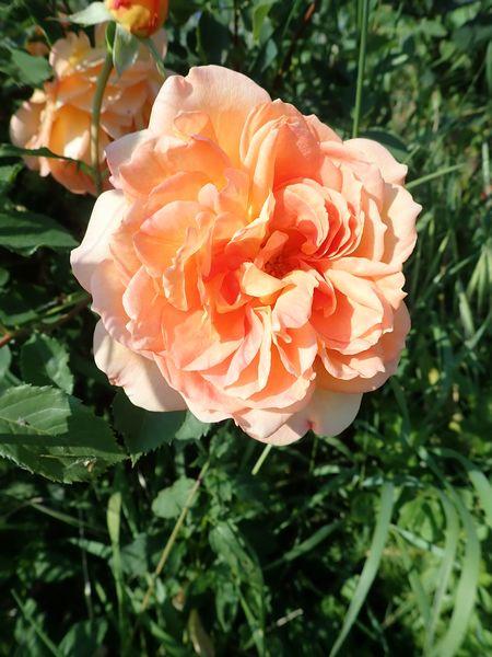 rosa 'lady of shalott' - Page 4 Jardin73
