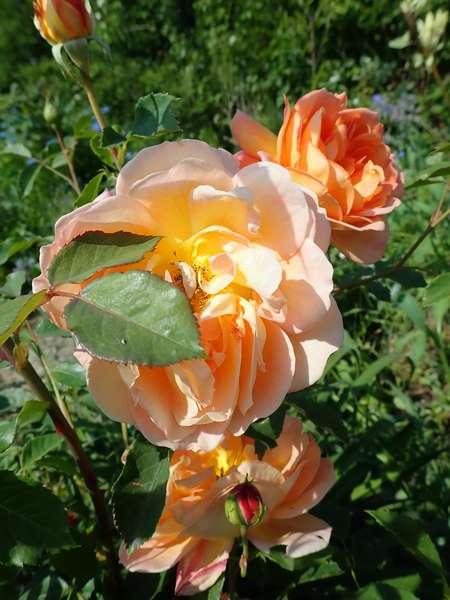 rosa 'lady of shalott' - Page 4 Jardin75