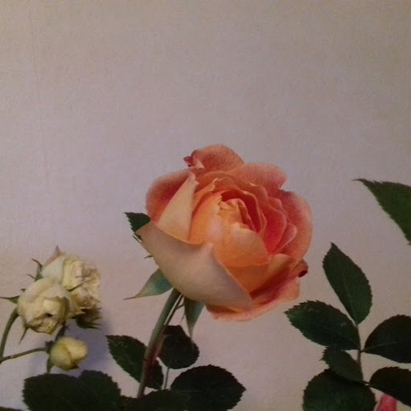 rosa 'lady of shalott' - Page 3 Lady_d10