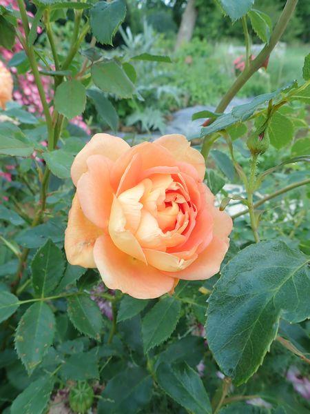 rosa 'lady of shalott' - Page 4 Vendre46