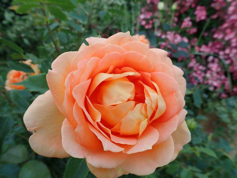 rosa 'lady of shalott' - Page 4 Vendre47