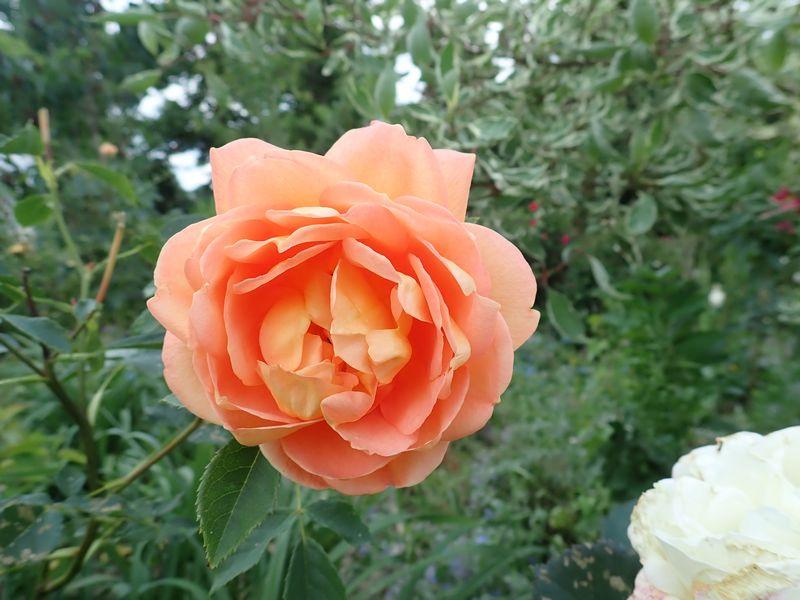 rosa 'lady of shalott' - Page 4 Vendre48