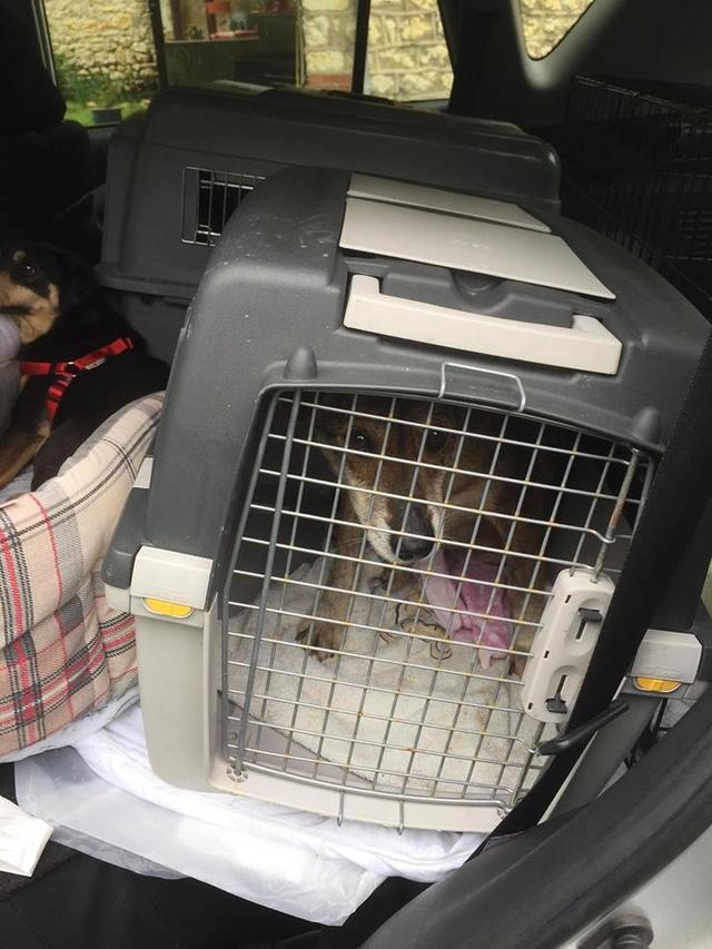 Arrivée camion des chiens Serbes de BELLA le 28 avril 2018 - Page 3 Branko18