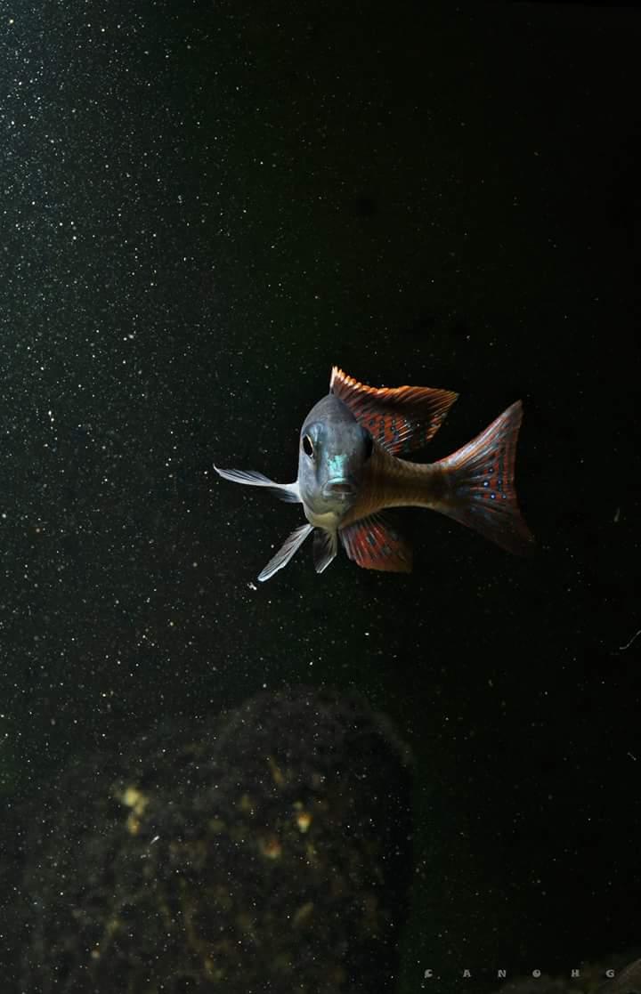 Lethrinops albus kande island  Fb_img20