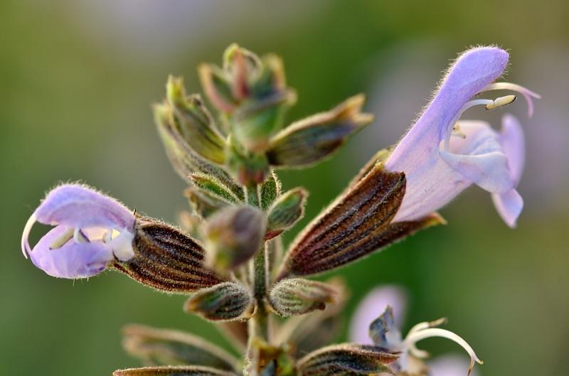 Fleur de ma sauge Dsc_1412