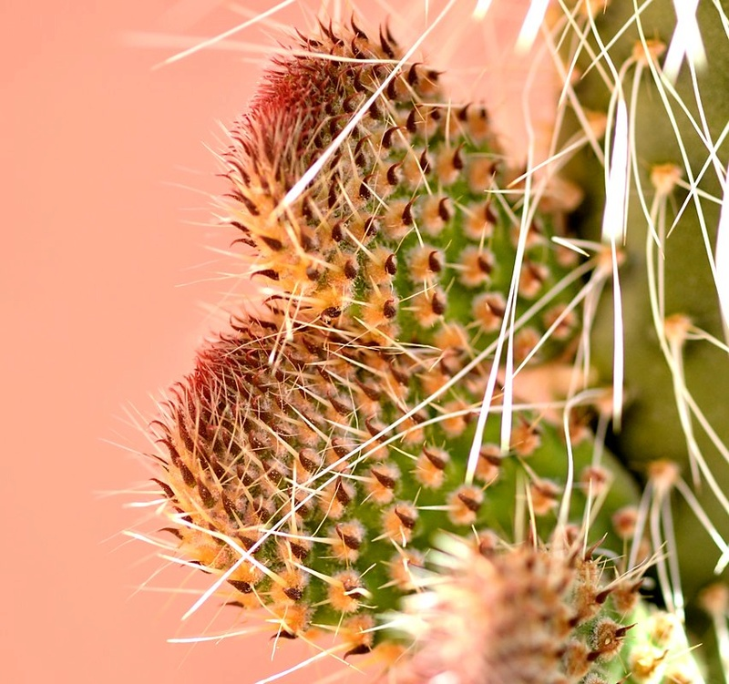 Bébés cactus opuntia pailana Dsc_2813