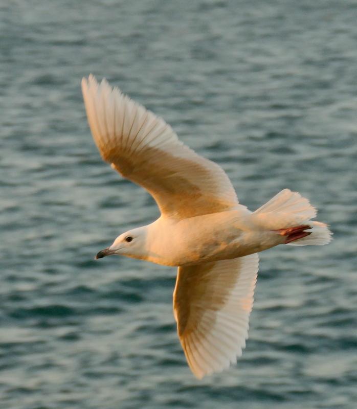 Goéland à ailes blanches ou hybride ? P1630810