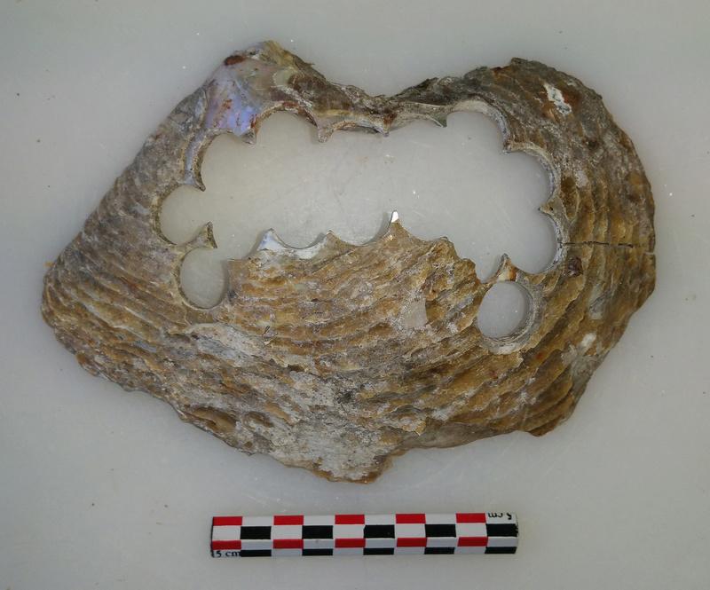 archéologie - Huître à boutons ... 20180526