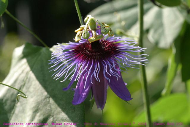 Passiflora x 'Lavender Lady' Amethy10