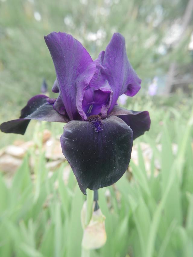 Iris noir-violet 2 de Cugan - Iris 'Black Swan'  Iris_n10