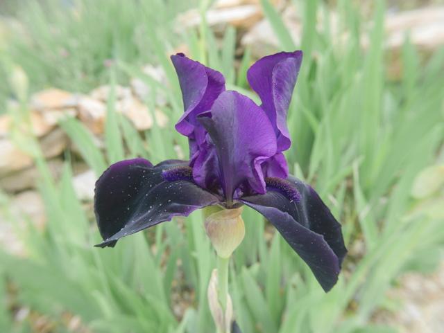 Iris noir-violet 2 de Cugan - Iris 'Black Swan'  Iris_n11
